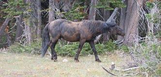 Dzikiego konia mustang - Czarny zespołu ogier który właśnie staczał się w brudzie w Pryor gór Dzikiego konia pasmie w Montana usa Obraz Stock