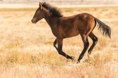 Dzikiego konia mustanga bieg Obraz Royalty Free