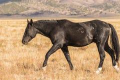 Dzikiego konia mustanga odprowadzenie Zdjęcie Stock