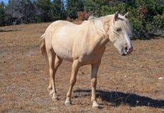 Dzikiego konia mustanga Palomino klacz na Tillett grani w Pryor gór Dzikiego konia pasmie na Wyoming Montana granicy stanu granic Obrazy Royalty Free