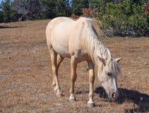 Dzikiego konia mustanga Palomino klacz na Tillett grani w Pryor gór Dzikiego konia pasmie na Wyoming Montana granicy stanu granic Fotografia Stock