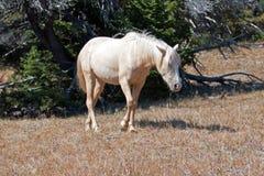 Dzikiego konia mustanga Palomino klacz na Tillett grani w Pryor gór Dzikiego konia pasmie na Wyoming Montana granicy stanu granic Obrazy Stock