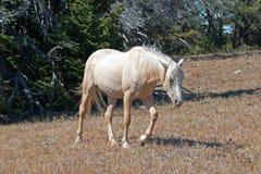Dzikiego konia mustanga Palomino klacz na Tillett grani w Pryor gór Dzikiego konia pasmie na Wyoming Montana granicy stanu granic Obraz Royalty Free