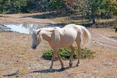 Dzikiego konia mustanga Palomino klacz na Tillett grani w Pryor gór Dzikiego konia pasmie na Wyoming Montana granicy stanu granic Zdjęcia Royalty Free