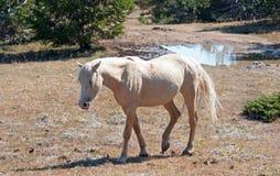 Dzikiego konia mustanga Palomino klacz na Tillett grani w Pryor gór Dzikiego konia pasmie na Wyoming Montana granicy stanu granic Obraz Stock