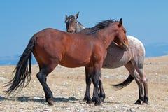 Dzikiego konia mustanga zatoki zespołu ogier z jego Truskawkowym Czerwonym Dereszowatym klaczem na Sykes grani w Pryor gór Dzikie obraz stock