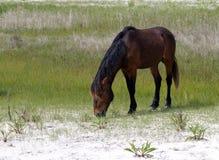 Dzikiego konia ogier zdjęcia royalty free