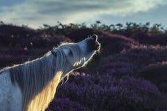 Dzikiego konia ogiera obwąchania powietrze, Flehmen odpowiedź zdjęcie royalty free