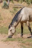 Dzikiego konia ogiera pasanie Zdjęcia Royalty Free
