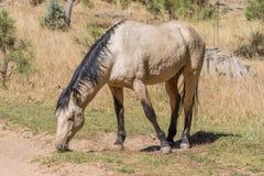 Dzikiego konia ogiera pasanie w Arizona Obraz Royalty Free