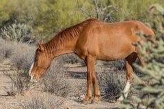 Dzikiego konia pasanie w Arizona pustyni Obraz Stock