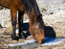 Dzikiego konia pić Fotografia Royalty Free