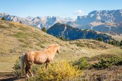 Dzikiego konia pozycja na dolomitach obrazy stock