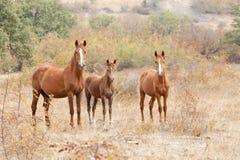 Dzikiego konia rodzina Zdjęcie Royalty Free
