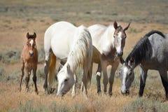 Dzikiego konia rodzina W Sandwash basenie Zdjęcia Stock