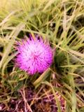 Dzikiego kwiatu koloru fuksja zasadzająca fotografia royalty free