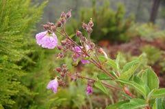 Dzikiego kwiatu mauve z kroplami woda Fotografia Royalty Free