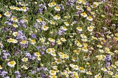 Dzikiego kwiatu pola z rocznik roślinami od ziaren Obraz Stock