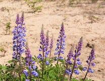 Dzikiego Lupine kwiaty zdjęcie royalty free