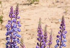 Dzikiego Lupine kwiaty obrazy stock