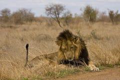 Dzikiego męskiego lwa łgarski puszek w krzaku, Kruger, Południowa Afryka Obrazy Stock