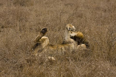 Dzikiego męskiego lwa łgarski puszek w krzaku, Kruger, Południowa Afryka Obraz Stock