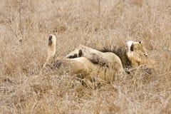 Dzikiego męskiego lwa łgarski puszek w krzaku, Kruger, Południowa Afryka Fotografia Stock