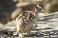 Dzikiego mareeba rockowy wallaby, Mitchell rzeka, kopowie, Queensland Obraz Royalty Free