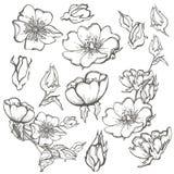 Dzikiego psa róży setu kwiatów konturowego atramentu kolorystyki dorosła strona z pączkami rysuje wektorowego clipart na białym t Zdjęcie Royalty Free