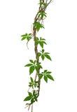Dzikiego ranku gloy liście wspina się na kręconym dżungli liany isolat obrazy royalty free