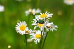 Dzikiego rumianku kwiatów dorośnięcie w zielonej trawie, abstrakcjonistyczny kwiecisty naturalny ekologii tło Obraz Stock