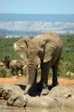 dzikiego słonia Obraz Stock