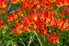 Dzikiego tulipanowego Tulipa Mały Princess Fotografia Stock