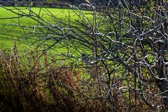 Dzikiego zima jaskrawego ranku nagi drzewo z ptakami siedzi na gałąź i zielonej trawy uprawach w tle obraz stock