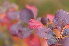 Dzikiej bonkrety jesieni liści owocowa kolorowa czerwień kolorowa Zdjęcia Royalty Free