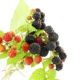 Dzikiej czerwieni i czarnej malinki zbliżenie w białym tle Fotografia Stock