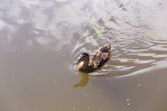 Dzikiej kaczki dopłynięcie na halnym jeziorze Obraz Royalty Free