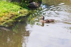 Dzikiej kaczki dopłynięcie na halnym jeziorze Obraz Stock