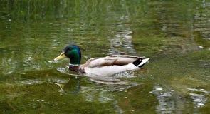 Dzikiej kaczki dopłynięcie w wodzie Zdjęcie Royalty Free