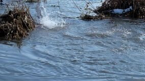 Dzikiej kaczki mallard masy nur pod wodą zbiory wideo