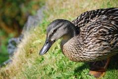 Dzikiej kaczki odprowadzenie na trawie Obrazy Stock