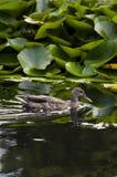 Dzikiej kaczki pływanie wśród wodnych leluj Zdjęcia Stock