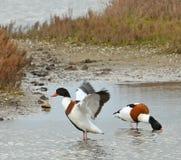 Dzikiej kaczki para Obrazy Stock