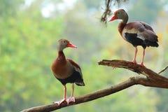 Dzikiej kaczki para Obraz Stock