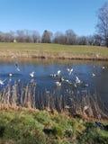 Dzikiej kaczki rzeczna trawa żadny wiatr zdjęcia royalty free