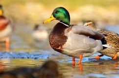 Dzikiej kaczki samiec w zimie Obrazy Royalty Free