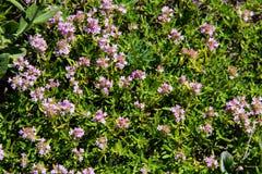 Dzikiej macierzanki Thymus vulgaris na łące Fotografia Royalty Free