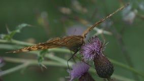 Dzikiej natury Piękny Barwiony Motyli wizerunek w lesie zdjęcia royalty free
