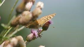 Dzikiej natury Piękny Barwiony Motyli wizerunek w naturze obraz royalty free