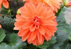 Dzikiej pomarańcze dalia Obraz Royalty Free